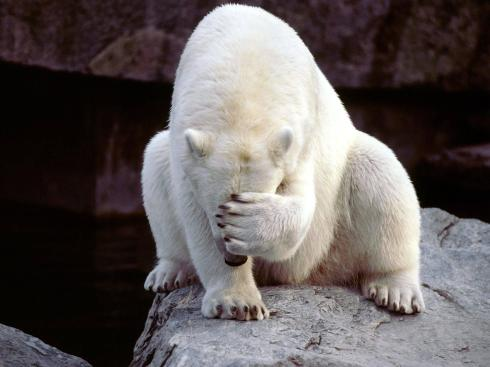 35506_bear_polar_bear_facepalm